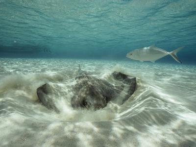 A Southern Sting Ray Burrowing into Sand as a Fish Swims Nearby