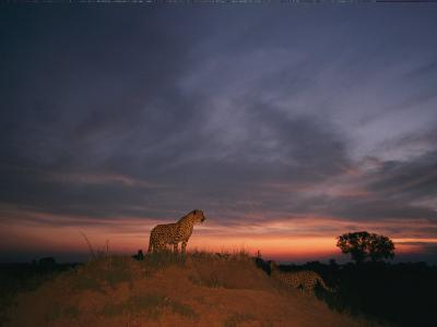 An African Cheetah Stands Majestically on a Large Mound in Front of a Beautiful Sunset