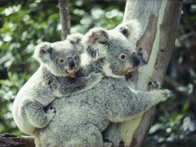A Koala Bear Hugs a Tree While Her Baby Clings to Her Back