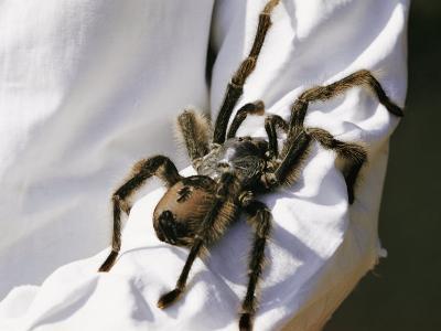 A Large Tarantula Spider on a Mans Arm