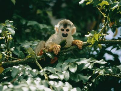 A Squirrel Monkey Hides in the Brush