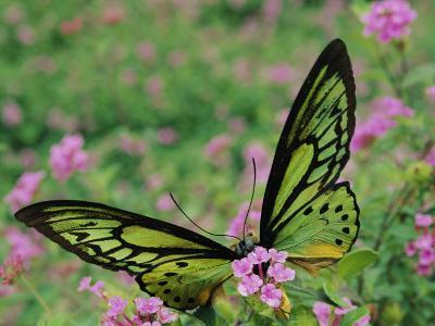 A Captive Birdwing Butterfly Lands on a Pink Flower