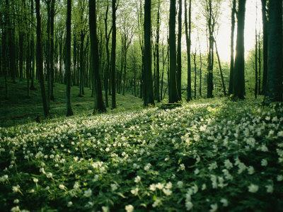 Spring Forest View with Anemones, Rugen Island in the Baltic Sea