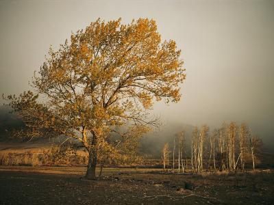 Golden Sunlit Tree in the Mist