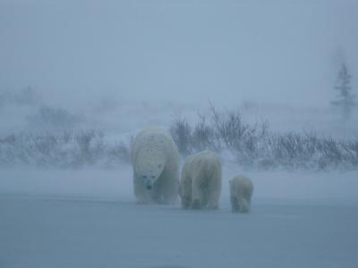 A Family of Polar Bears (Ursus Maritimus) Tredge Through a Snow Storm