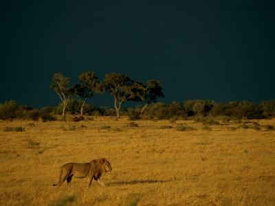 A Male African Lion Walks Across the Sunlit Savanna