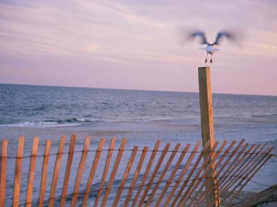 A Sea Gull Takes off from a Wooden Fence