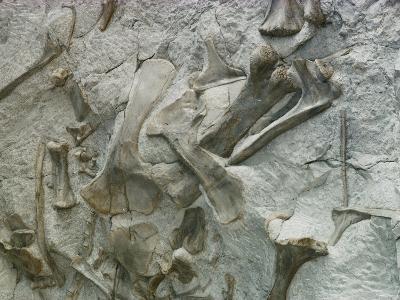 Dinosaur Fossils Embedded in Stone