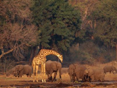 Elephants and a Solitary Giraffe Share a Water Hole