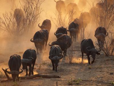 Cape Buffalo Herd Raising a Cloud of Dust