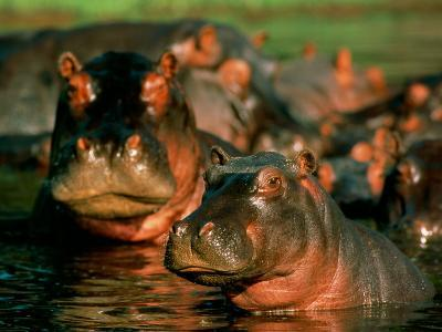 Hippopotamuses Wading in the Water