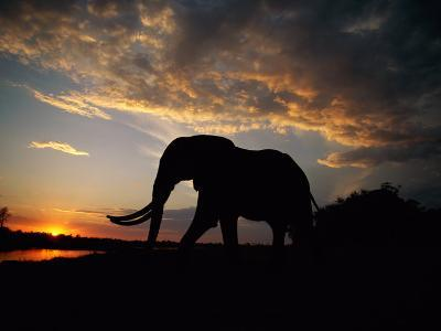 African Elephant Silhouetted at Twilight