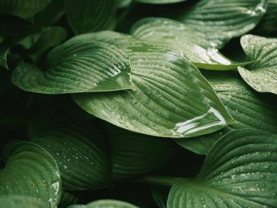 Water Drops on Plant Leaves