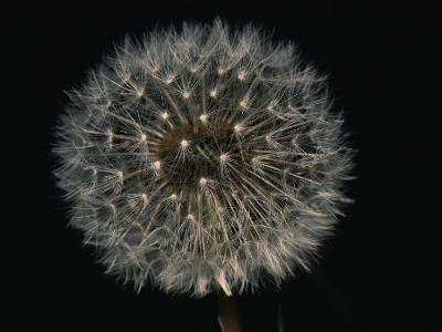 Close-up of a Dandelion That Has Gone to Seed