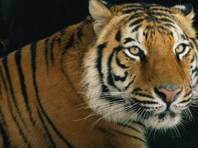 Portrait of an Indian Tiger