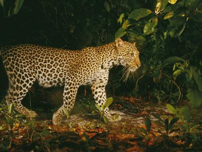 Picture of a Patrolling Leopard Taken by a Camera Trap