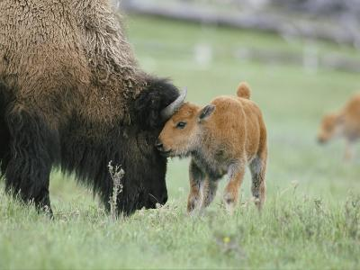A Female Bison Stands Patiently as Her Young Calf Plays with Her Horns