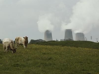 Cows Graze Near a Nuclear Power Plant