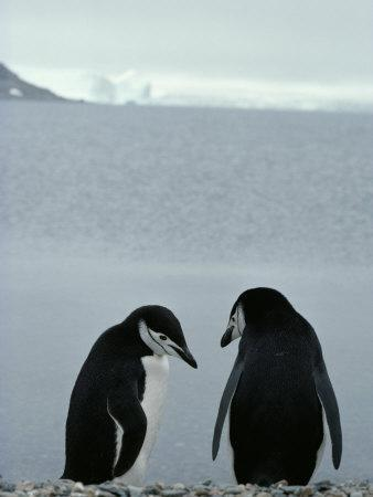 Two Chinstrap Penguins Stand on a Pebble Beach