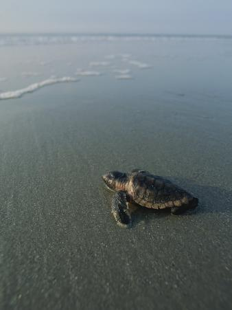A Newly-Hatched Loggerhead Sea Turtle Heads for the Water