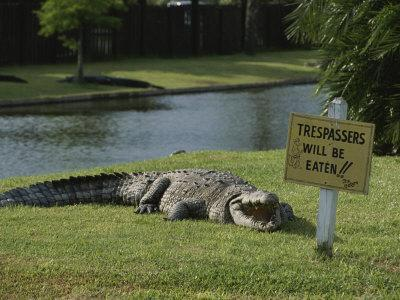 An American Alligator on a Lawn Next to a Humorous Warning Sign