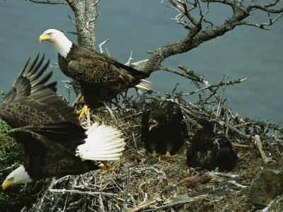Northern American Bald Eagles and Young in Their Nest