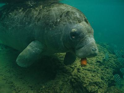 A Florida Manatee Chews on a Carrot in the Crystal River