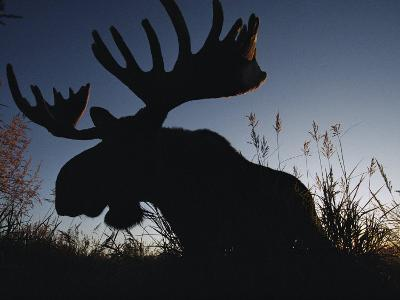 The Silhouetted Head of a Moose