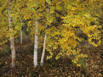 Birch Trees Along the Mackenzie River