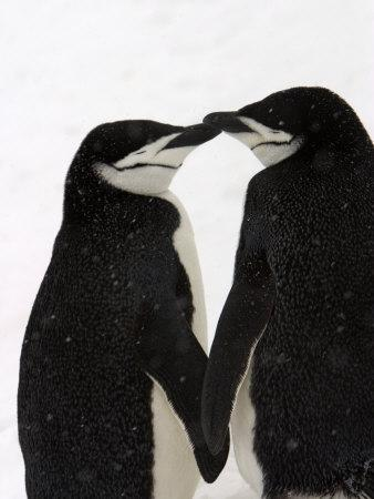 A Pair of Chinstrap Penguins in a Courtship Cuddle