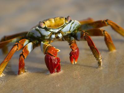A Sally Lightfoot Crab Crawls Along the Sandy Shore