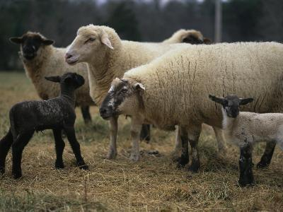 Ewes and Their Newborn Lambs