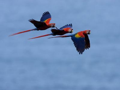 Three Scarlet Macaws (Ara Macao) in Flight, Blue Sky Background