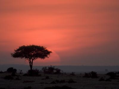 An Acacia Tree in the Masai Mara Silhouetted by the Setting Sun