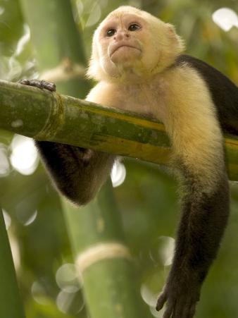 A White-Throated Capuchin Monkey on a Bamboo Stalk (Cebus Capucinus)