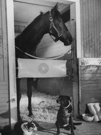 Horse of the Year, Kelso, Standing in His Stall