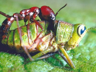 Close Up Side View of a Driver Ant Attacking a Grasshopper, Africa