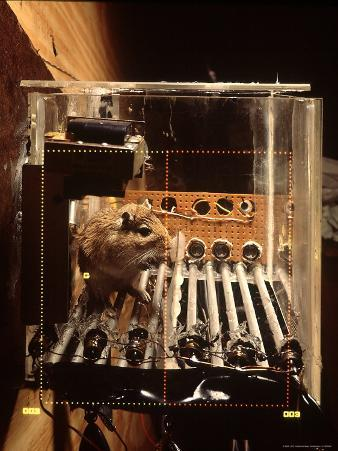 Caged Gerbil Being Tested For Precognitive, or Psychic, Powers at the Institute For Parapsychology