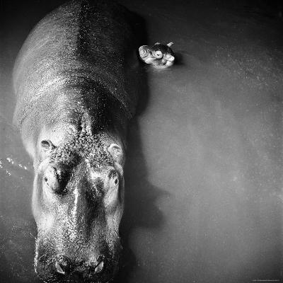 """Mother Hippo """"Bebe"""" and Her Daughter"""