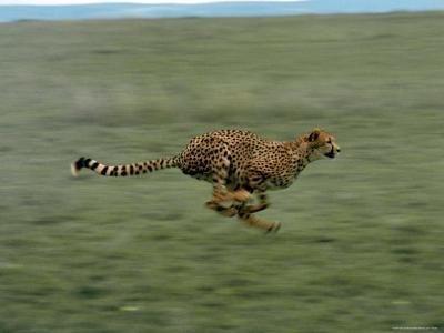 Cheetah Running Across Grassland in Country in Africa