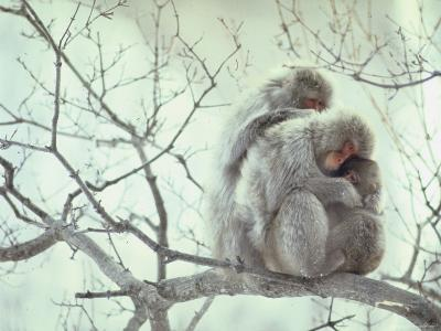 Family of Japanese Macaques Sitting in Tree in Shiga Mountains