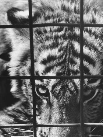 Caged White Tiger