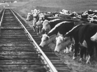 Cattle Round Up For Drive from South Dakota to Nebraska