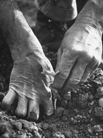 Farmer's Strong, Work Toughened Hands Planting in the Garden