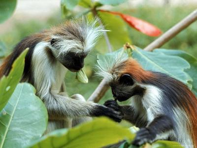 Red Colubus Monkeys Sitting in Tree Sharing Food