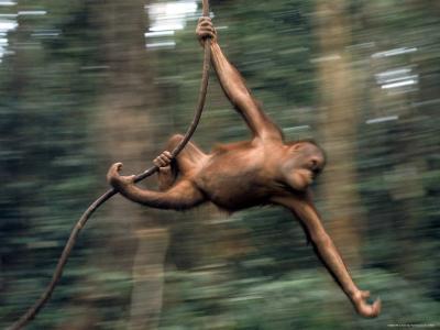 Orangutan Swinging from a Vine in the Jungles of North Borneo