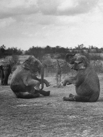 Vacationing Elephants Resting Up For Circus Season