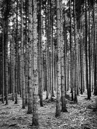 Trees Standing in the Black Forest