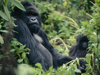 Adult Male Mountain Gorilla