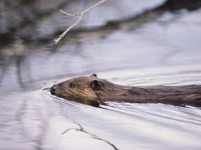 Beaver Swimming in the Sheenjek River